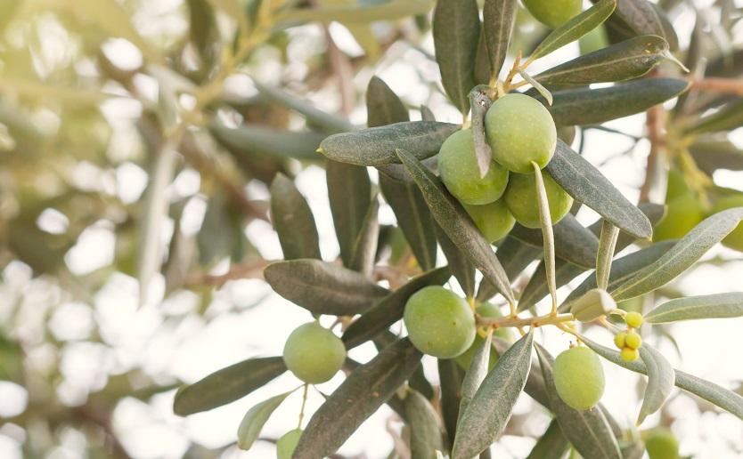 Olive tree brunch